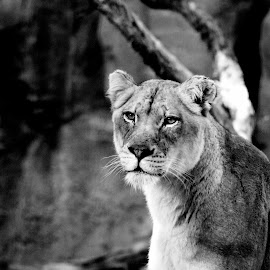 Black and white portrait of a lioness by LaDonna McCray - Animals Lions, Tigers & Big Cats ( lioness, black and white, fur, portrait, mammal, animal )