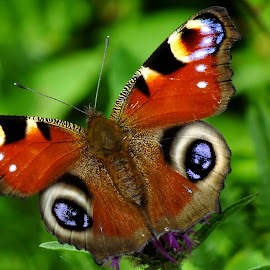 Peacock Butterfly by Pat Somers - Animals Insects & Spiders