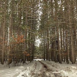 Finally open by Patti Pappas - Landscapes Forests ( pines, michigan, sky, winter, snow, white, trees )