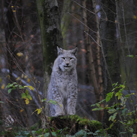 Lynx by Carl Purslow - Novices Only Wildlife