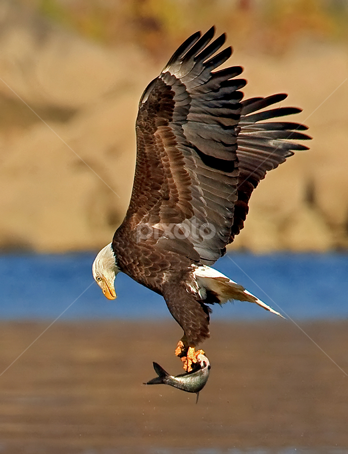 Checking the Baggage by Herb Houghton - Animals Birds ( eagle, bird of prey, bald eagle, raptor )