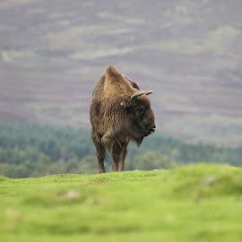 Highland Warrior by Dorothy Thomson - Animals Other Mammals ( scotland, bison, power, highlands,  )