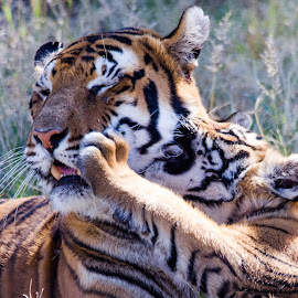 Play time with mummy  by Lisa Richardson - Animals Lions, Tigers & Big Cats ( big cats, animals, nature, bengal tiger )