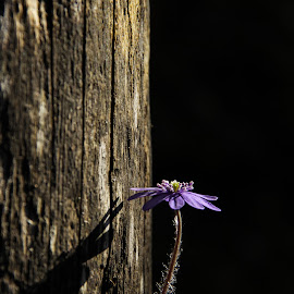 Life by Comsa Bogdan - Flowers Single Flower ( single, beautiful, canvas, enjoy, photo, spring, photography, amazing, life, photo frame, frame, gorgeous, awesome, single flower, violet, comsa bogdan, wonder, light, flower, wonderful )