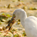 Snowy Egret and Pig Frog