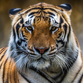 Tiger Close-up four by Ken  Frischkorn - Animals Lions, Tigers & Big Cats ( cats, wild, big cats, tigers, wild cats )