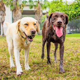 Park Pals by Meaghan Browning - Animals - Dogs Portraits ( walking, dogs, park, pointer, labrador )
