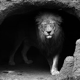 lion in cave by Andy Antipin - Animals Lions, Tigers & Big Cats ( animal portrait, lion, animals, zoo, cave,  )