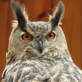 Eurasian Eagle Owl by Cathy Hood - Animals Birds