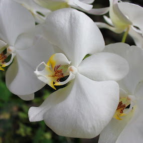 by Adianca Ridhani - Nature Up Close Flowers - 2011-2013 ( orchid, indonesia, white, flower )