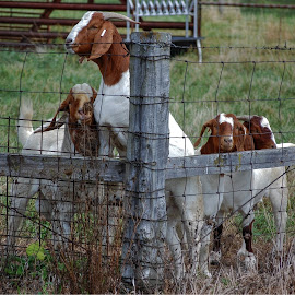 Groupies by Norman Stephens - Animals Other Mammals ( goats, tipton, indiana, county, goat, scientist, groupies, soil )