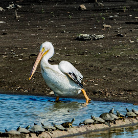 Pelican and Friends by Greg Bennett - Animals Birds ( water, american white pelicans, west alton, illinois river, mississippi river, great rivers confluence, alton, missiour, il, the audubon center at the riverlands, sand bar, turtle )