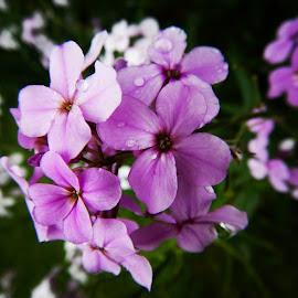 Tall Phlox by Diane Butler - Instagram & Mobile Instagram ( phlox, flowers, spring2015, nature, instagram )