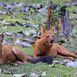 Awesome twosome by Soham Chakraborty - Animals Other Mammals ( canine, predator, red, wildlife, india )