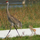 Sandhill Crane (with chicks)