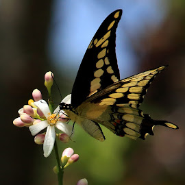Swallowtail on Lemon Tree Flower by Mike Vaughn - Animals Insects & Spiders ( butterfly, metairie, louisiana, lemon tree.butterfly on flower, swallowtail )