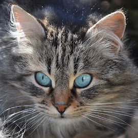 by Ivan Marjanovic - Animals - Cats Portraits