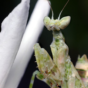 Mantis. by Gokul Rajenan - Animals Insects & Spiders ( #flower #mantis #nature #greenish )