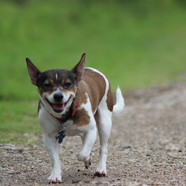 My sweetie! by Valorie Unruh - Animals - Dogs Running ( mixed breed, chihuahua )