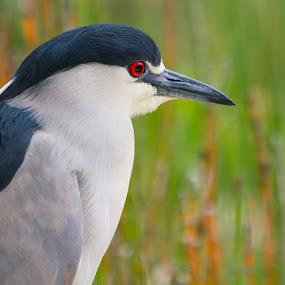 Red-Eye by John M. Larson - Animals Birds ( bird, nature, wildlife, heron, black crowned, eye,  )