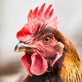 Hank by Preston Trauscht - Uncategorized All Uncategorized ( farm animals, chicken, animals, headshot, colorful, chickens, birds )