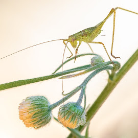 Green Long legs by Julio Gonzalez - Nature Up Close Other Natural Objects ( macro, green, 5d mark 4, insect, 100mm macro )