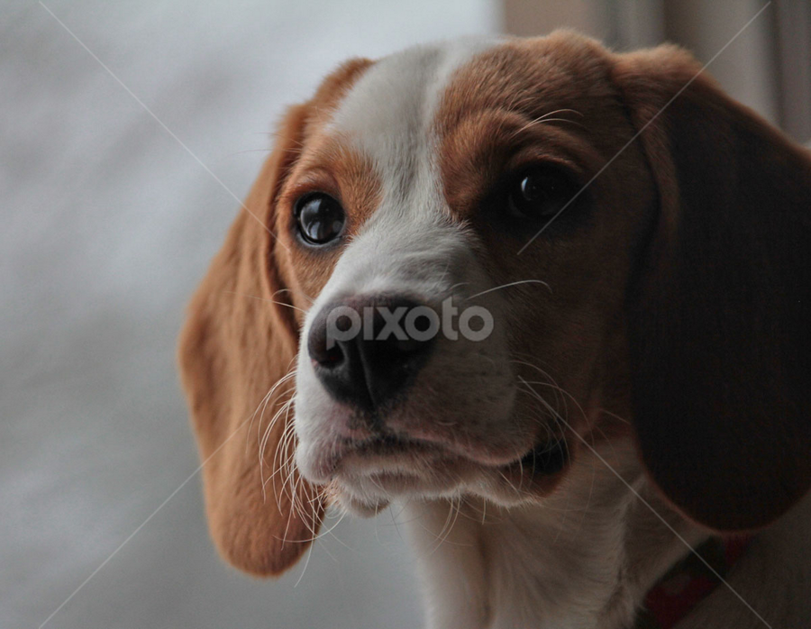 My Girl by Sandy Considine - Animals - Dogs Puppies