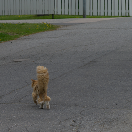 by Kristinn Gudlaugsson - Animals - Cats Portraits