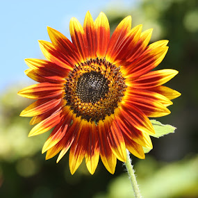 Sunflower by Pal Mori - Nature Up Close Flowers - 2011-2013 ( single, nature, unclear bacground, flower, interesting colors )