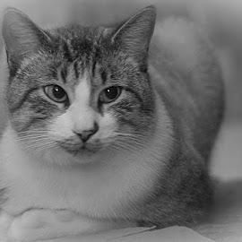 The Hunter Returned by Jim Harris - Animals - Cats Portraits ( cat, sitting cat, contemplative cat, peaceful cat, resting cat )