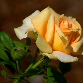 Rose 2018 by Larry Bidwell - Flowers Single Flower