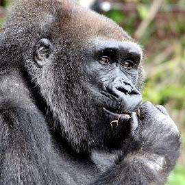 Hmm............... by Ralph Harvey - Animals Other Mammals ( gorilla, wildlife, bristol zoo, ralph harvey, animal )