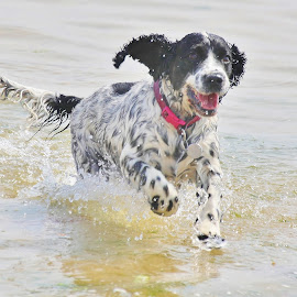 Spaniel by Deleted Deleted - Animals - Dogs Running