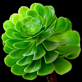 Succulant by Asif Bora - Nature Up Close Other plants