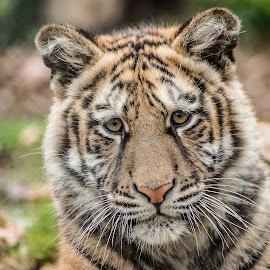 Tiger by Tony Hampel - Animals Lions, Tigers & Big Cats