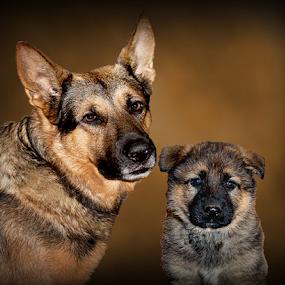 Father and son by Dawn Vance - Digital Art Animals ( pet portrait, pet photography, pets, male, digital art, german shepherd dog, dog portrait, puppy, german shepherd, digital photography )