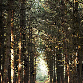 Dunwich Woods by Emma Thompson - Landscapes Forests ( pathway, trees, light, woods )