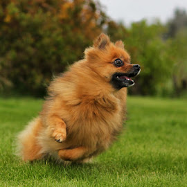 by Jane Bjerkli - Animals - Dogs Playing ( playing, pomeranien, summer, fun, dog, runing, pomeranian )