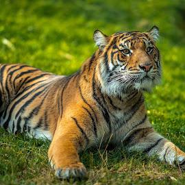 Relaxing by Chris Shaffer - Animals Lions, Tigers & Big Cats ( big cat, orange, tiger, zoo, alert, pentaxk1, pentax, kitty kitty, stripes, samyang135mm )