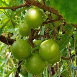 Bullet grapes after today's rain by Jeffrey Lee - Nature Up Close Gardens & Produce