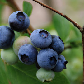 Blueberries by Margie Troyer - Nature Up Close Gardens & Produce