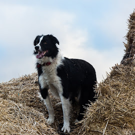 Border Collie in hay by Gill Fry - Animals - Dogs Portraits ( farm, farm dog, border collie, hay, dog portrait, bordercollie,  )