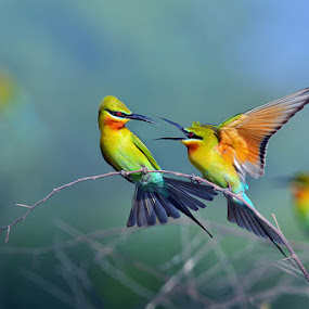 Blue-tailed Bee-eater by Sasi- Smit - Animals Birds