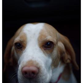 by Dusan Arezina - Animals - Dogs Portraits