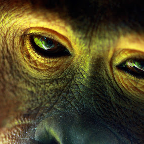 Eyes of an Orangutan by Reza Roedjito - Animals Other Mammals ( animal, monkey )