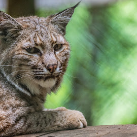 Bobcat by Mike Crosson - Animals - Cats Portraits ( predator, hunter, cat, bobcat, portrait, mammal )
