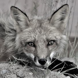 the stare by Mick Leppien - Black & White Animals