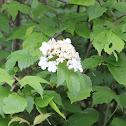 Highbush Cranberry
