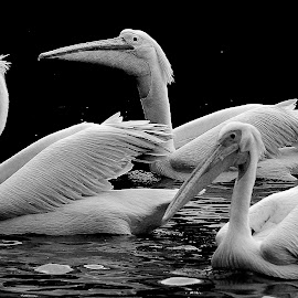 by Francois Wolfaardt - Black & White Animals