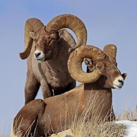 by Kirby Hornbeck - Animals Other Mammals ( animals, nature, wyoming, bighorns, rams, wildlife, sheep )